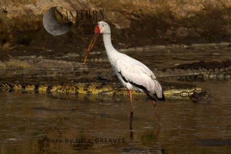 Yellow-billed Stork Wading In The Katuma River