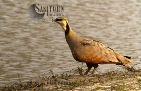 Male Yellow-throated Sandgrouse At Water
