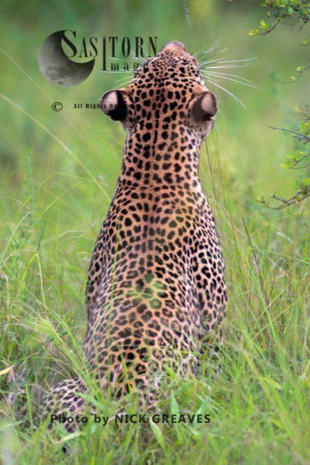 Leopard (Panthera Pardus), Queen Elizabeth National Park, Uganda