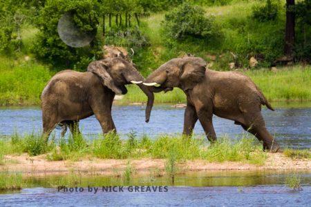 African Elephant (Loxodonta Africana) Fighting