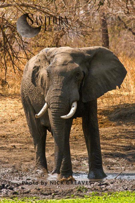 African Elephant (Loxodonta Africana) Bull At Waterhole