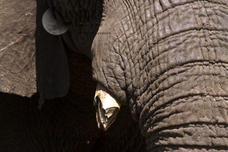 African Elephant (Loxodonta Africana) Skin