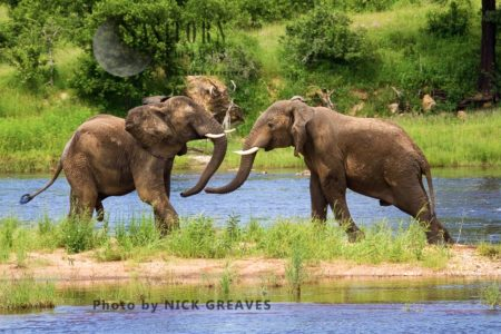 African Elephant (Loxodonta Africana), Young Bulls Sparring
