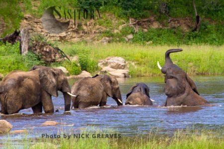 African Elephant (Loxodonta Africana) Bathing