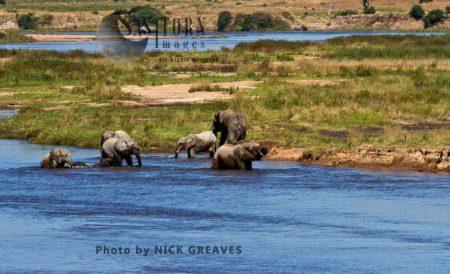 African Elephants (Loxodonta Africana) In The Great Ruaha River