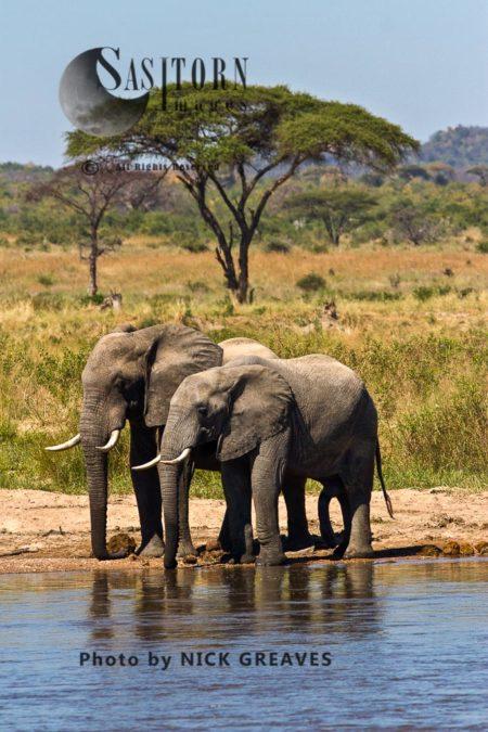 African Elephant (Loxodonta Africana) Bulls Drink From The Ruaha