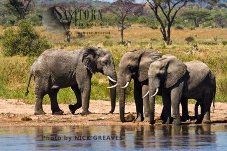 Three African Elephants (Loxodonta Africana) Bulls Drink From The Ruaha
