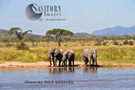 African Elephants (Loxodonta Africana), Three Bulls Drinking From The Ruaha