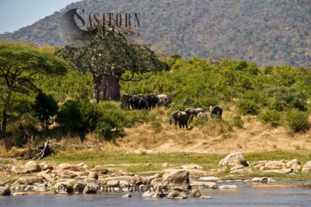 African Elephants (Loxodonta Africana) By The Ruaha