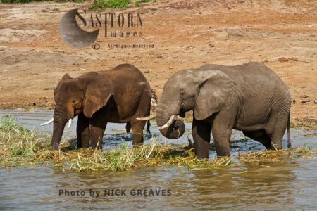African Elephant (Loxodonta Africana) Eating In The Kazinga Channel