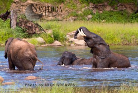 Elephants Playing In River (Loxodonta Africana)