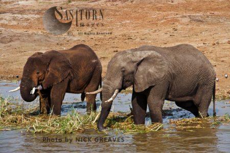 African Elephant (Loxodonta Africana) Bulls At The Kazinga Channel