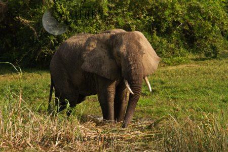 African Elephant (Loxodonta Africana) Bull At Kazinga