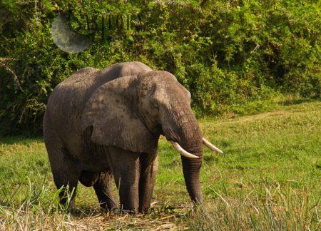 Relaxed African Elephant (Loxodonta Africana) Bull Eating
