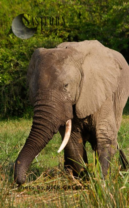 African Elephant (Loxodonta Africana) Bull Grazing