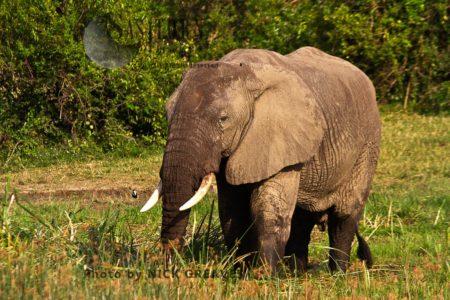 Large African Elephant (Loxodonta Africana) Bull