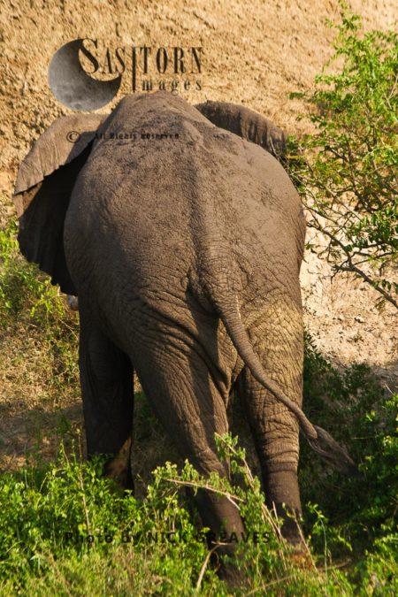 African Elephant (Loxodonta Africana) Bull Dozing
