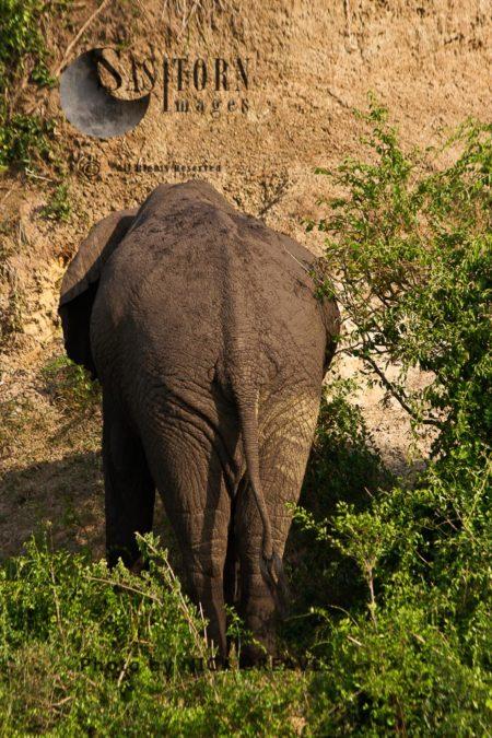 Dozing African Elephant (Loxodonta Africana)