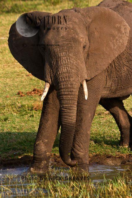 African Elephant (Loxodonta Africana) Bull Browsing In The Kazinga Channel