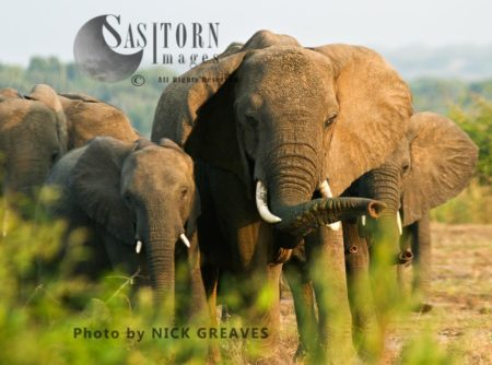 African Elephant (Loxodonta Africana), Herd Matriarch With A Floppy Ear