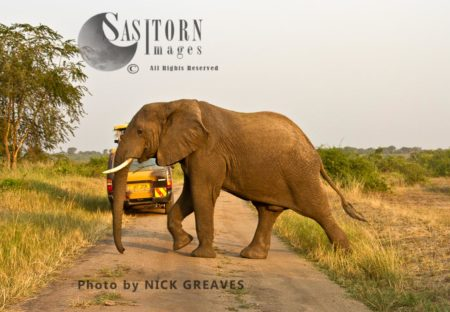 African Elephant (Loxodonta Africana) Crossing Road