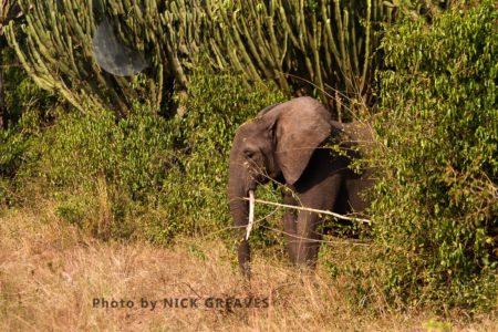 African Elephants (Loxodonta Africana) Matriarch Checking Surroundings