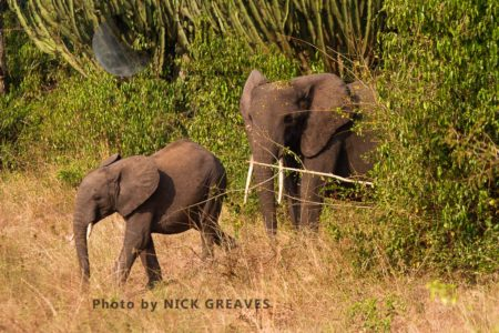 African Elephants (Loxodonta Africana) Emerging From Dense Forest
