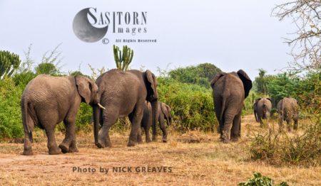 African Elephant (Loxodonta Africana), Departing Breed Herd