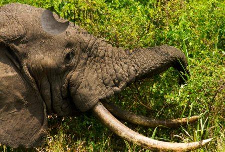 African Elephant (Loxodonta Africana), Old Tusker Feeding