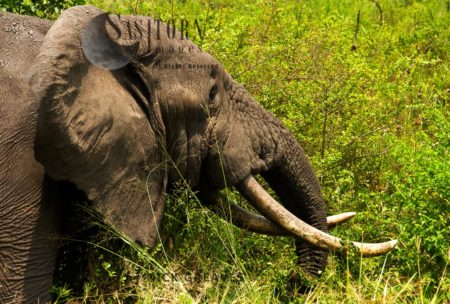 African Elephant (Loxodonta Africana), Nice Old Tusker
