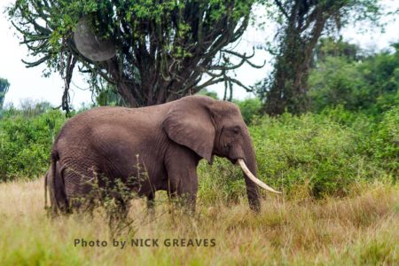 African Elephant (Loxodonta Africana) Bull Weeping From Temporal Gland