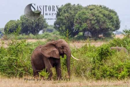 Old African Elephant (Loxodonta Africana) Cow