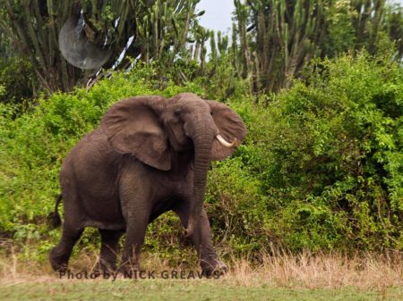 Aggressive Matriarch African Elephant (Loxodonta Africana)
