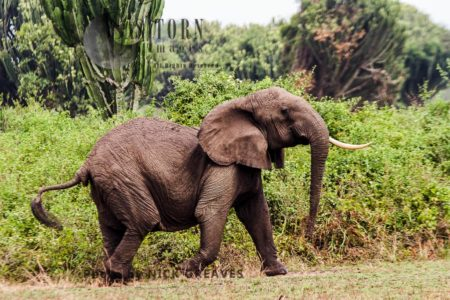 African Elephant (Loxodonta Africana), Agitated Herd Matriarch