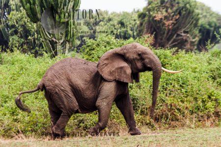 African Elephant (Loxodonta Africana), Agitated Herd Matriarch