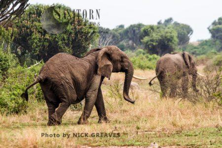 African Elephant (Loxodonta Africana) Herd Matriarch