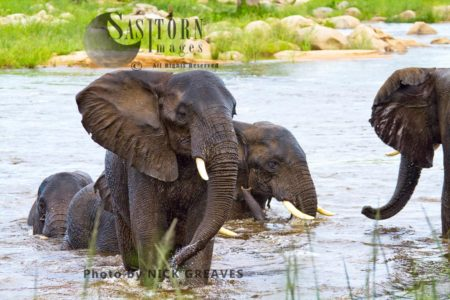 African Elephant (Loxodonta Africana) Bulls Wading Ruaha