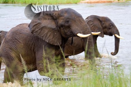 African Elephant (Loxodonta Africana) Getting Out Of River