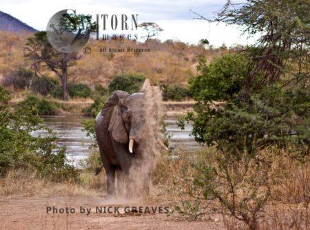 African Elephant (Loxodonta Africana) Bull Dust Bathing
