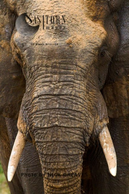 African Elephant (Loxodonta Africana) Detail
