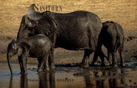 African Elephants (Loxodonta Africana): Shiny Mud Bath, Hwange National Park, Zimbabwe