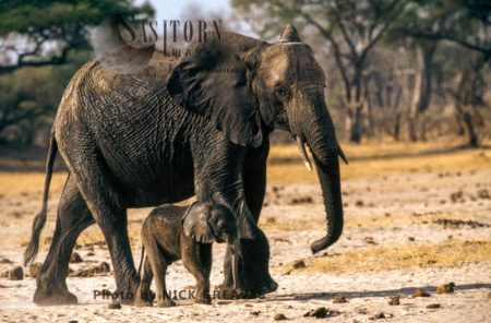 African Elephants (Loxodonta Africana), Cow And Calf, Hwange National Park, Zimbabwe
