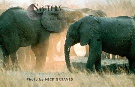 African Elephants (Loxodonta Africana), Herd Dusting, Hwange National Park, Zimbabwe