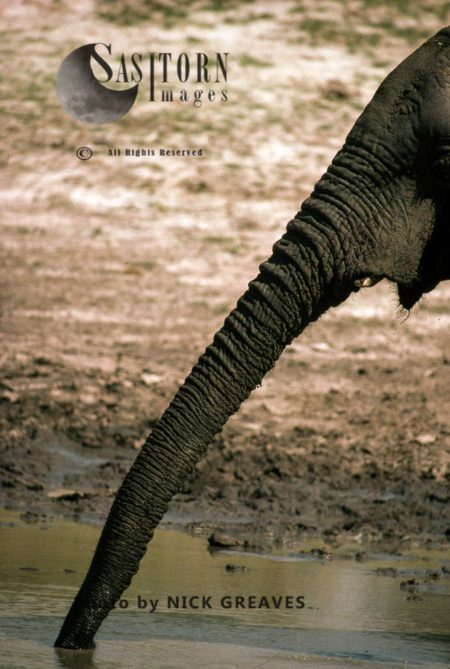 African Elephant (Loxodonta Africana) Trunk, Hwange National Park, Zimbabwe