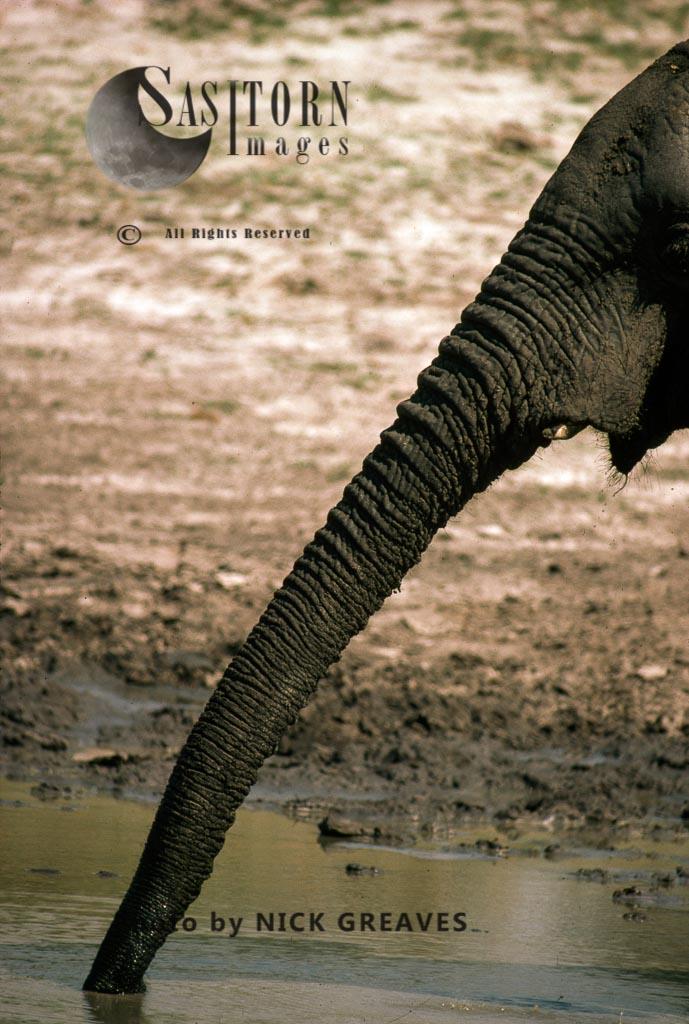 African Elephant Trunk, Loxodonta Africana, Hwange National Park, Zimbabwe