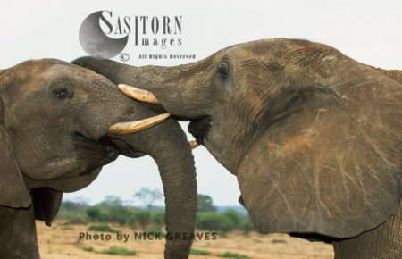 African Elephants (Loxodonta Africana), Bulls Sparring, Moremi Game Reserve, Okavango Delta, Botswana.