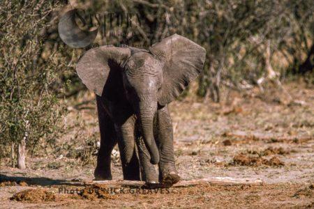 African Elephant (Loxodonta Africana), Calf Running, Playing, Hwange National Park, Zimbabwe