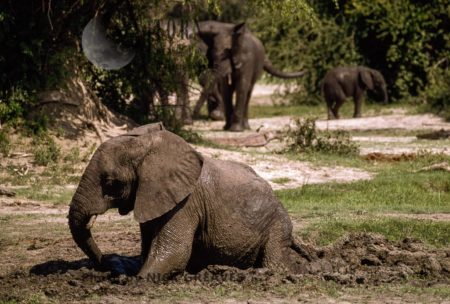 African Elephant (Loxodonta Africana), Calf Digging And Playing In Mud, Hwange National Park, Zimbabwe
