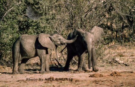 African Elephants (Loxodonta Africana), Twin Calves Playing, Hwange National Park, Zimbabwe