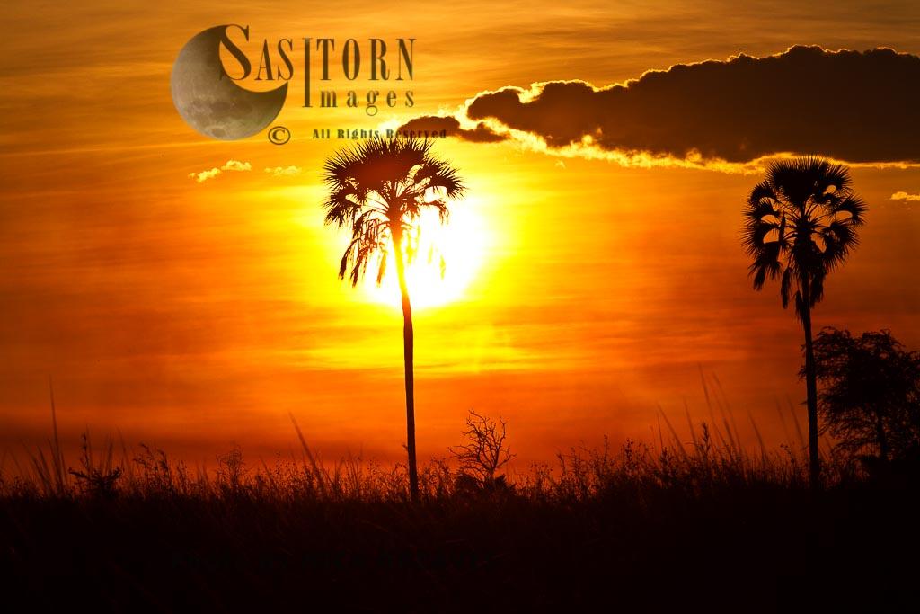 Fan Palms at sunset (Loxodonta africana)